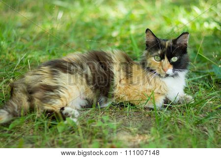 Three colored cat laying in shady place