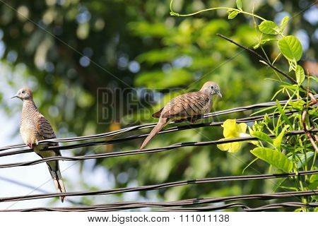 Two Zebra Doves perching on power lines next to the yellow dipladenia flower
