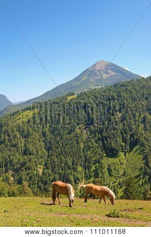 Two Haflinger, known as the Avelignese horse, nibbling grass on the mountain in Austria