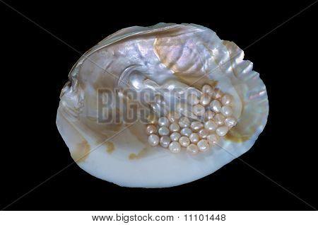 Haliotis corrugata sea snail