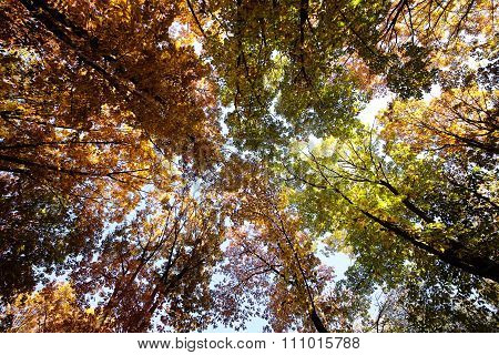 Sunny Autumn Golden-leaved Trees