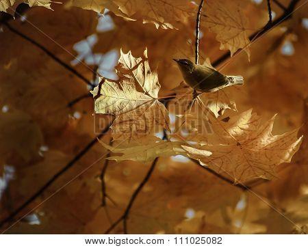 Gold Finch In Fall Folliage Tree
