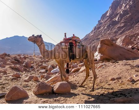 Lone camel on Mount Sinai