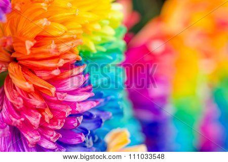 Colorful Of Rainbow Chrysanthemum Flower