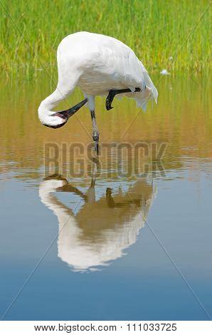 Whooping Crane Preening In Marsh