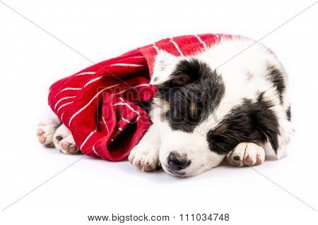 Cute Texas Heeler Puppy Sleeping