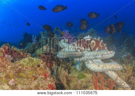 Hunting Octopus is mobbed by small fish (damselfish)