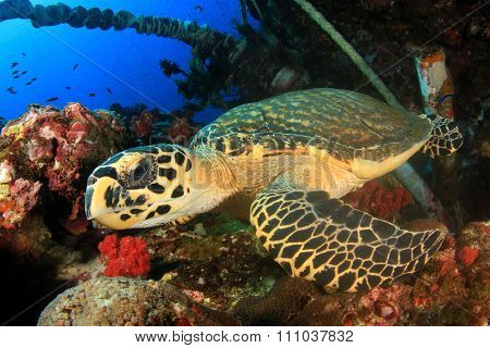 Hawksbill Sea Turtle on polluted reef with ropes and nets underwater