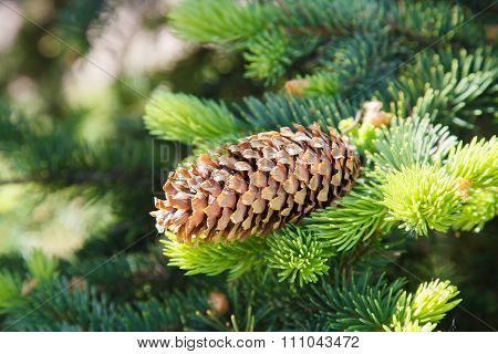 Fir cone on a branch.