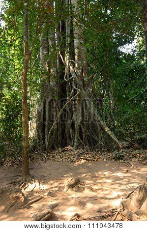 Rain Forest In Cambodia