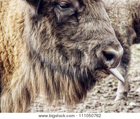 European Bison (bison Bonasus) Portrait With Tongue Out