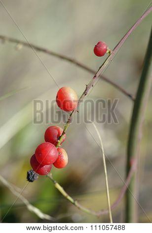 Cyprus Bosea Berries