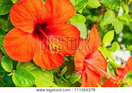 Big Red Flowers On A Bush With Green Leaves