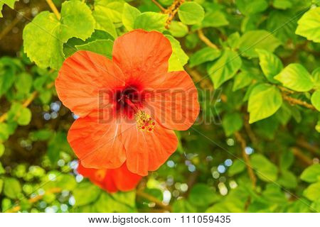 Big Red Flower On A Bush With Green Leaves