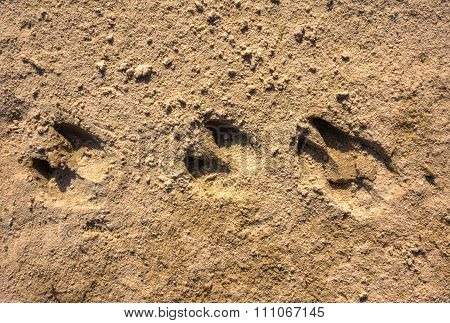 Traces Of Wild Boar In The Sand