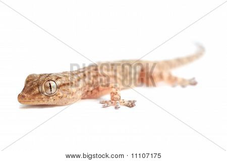 Brown Spotted Gecko Reptile Isolated On White, Front View