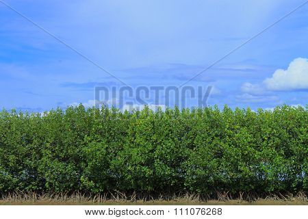 mangroves growing on the coast of Aceh Sumatra Indonesia