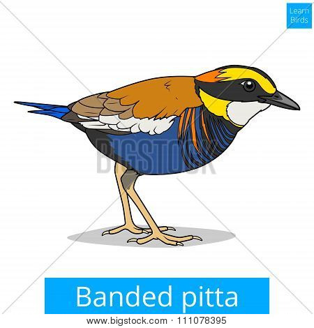 Banded pitta learn birds educational game vector