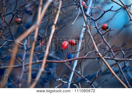 Branch Of Wild Briar Berries In The Evening