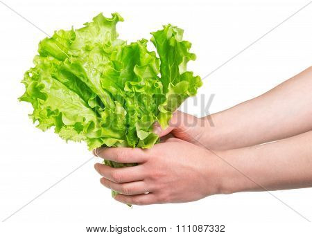 bunch of fresh lettuce in hands isolated on white