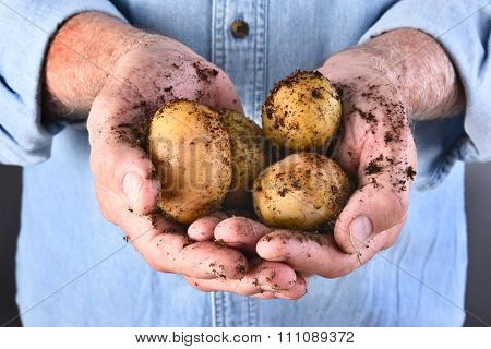 Closeup of a farmers dirty hands holding his fresh harvested locally grown organic potatoes.