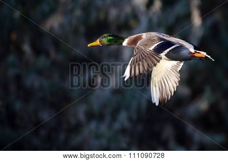 Close Look At A Male Mallard Duck In Flight