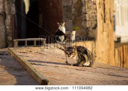 Cats In Essaouira