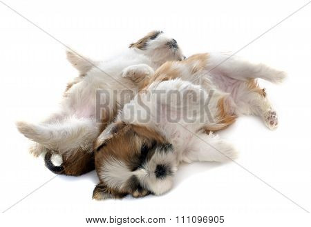 Two Puppy Shitzu