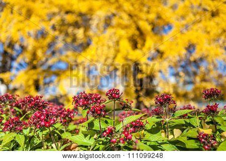 Autumn yellow Ginkgo (biloba) trees at national park in Japan.