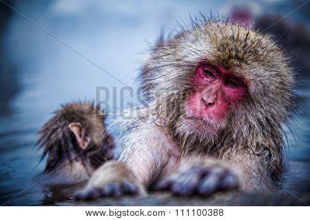 Japanese snow monkey in Jigokudani snow monkey park, Japan.