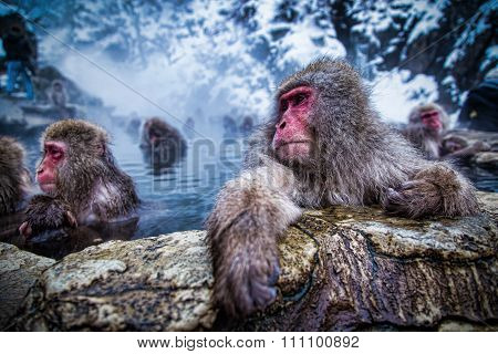 Japanese monkey, known as snow monkey