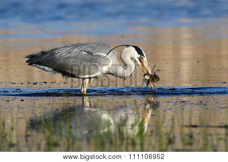 Grey Heron Catch Two Small Fish