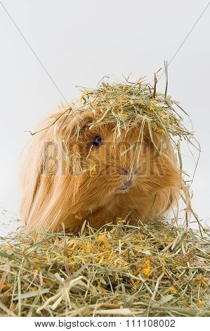 Guinea Pig Breed Sheltie In The Hay..