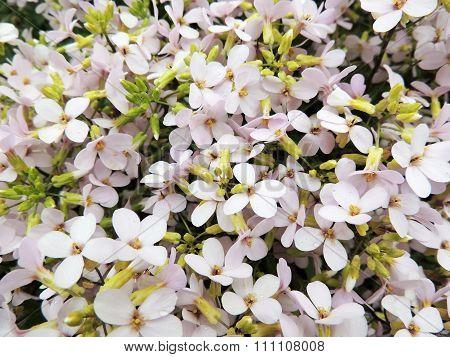 Flower arabis or Arabis (Arabis), cruciferous