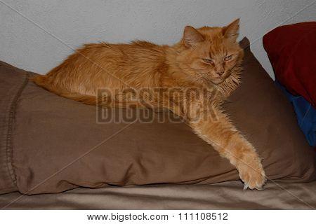 Red Cat awakening from nap