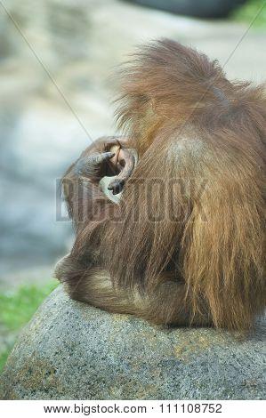Ponderer Baby Orangutan..