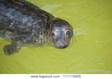 Fur Seal Emerges From The Water.