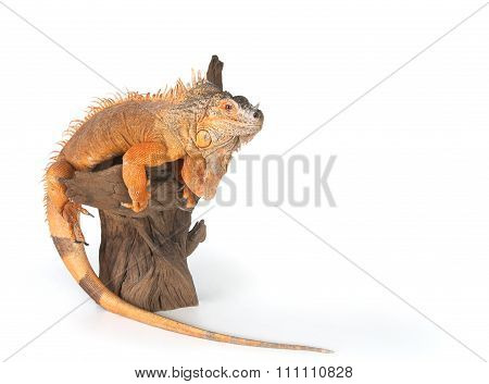 Common Iguana (red Morph) Sitting On Driftwood Close Up..