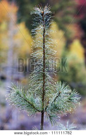 Small Pine In Rain