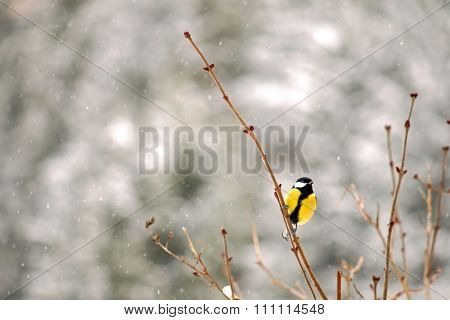 The Great tit bird (Parus major, Kohlmeise) perching on a branch during the snowfall in Europe