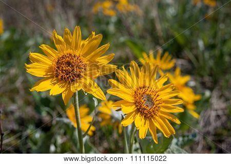 Balsamroot Flowers Closeup