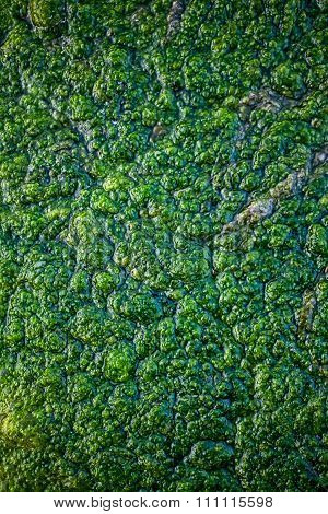 Texture Of Green Swamp Closeup