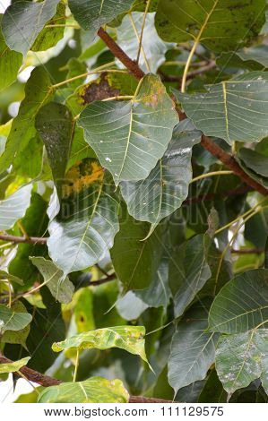 Ficus religiosa leaves in garden
