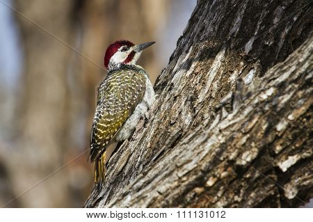 Bennett's Woodpecker In Kruger National Park