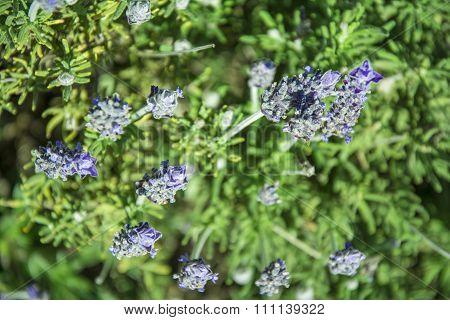 Lavender flowers -Lavandula dentata