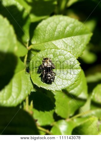 White-spotted Jumping Spider 1