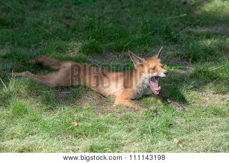 Young Fox Yawns Lying On A Mown Grass