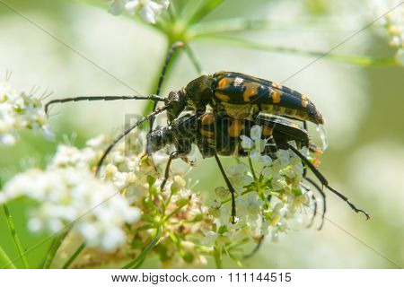 Two Beetles Mating On The White Flower
