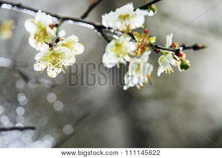 Colorful Plum Flowers Closeup