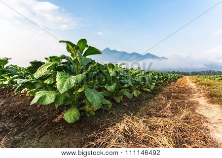 Tobacco Farm In Morning Near Road.